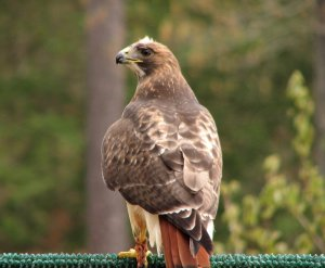red-tailed-hawk-pv